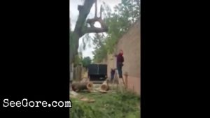 Man face gored by a big falling tree branch